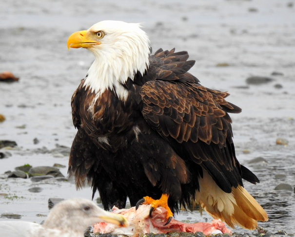 Eagles on the Royston shores because of gifted food and bits Royston, BC, Canada