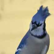 Comical Bluejay