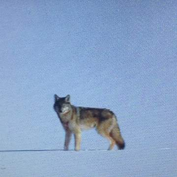 North Eastern Ontario wolf