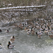 Mallard Ducks at Springbank Park