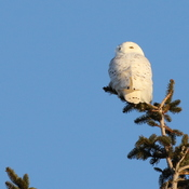 Tree-top Snowy Owl