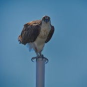 you looking at me? Osprey Tampa Bay, Florida, USA