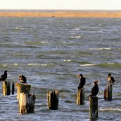 A flock of double-crested cormorant