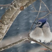 COLD SNOWSTORM JAY