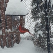 Cardinal on the feeder during the snow storm