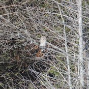 Barred Owl (I think)