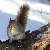 IF THE RED SQUIRREL COULD TALK...