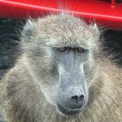 Baboons of Cape Point