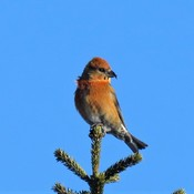 Red Crossbill *Male*