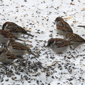 House Sparrows have arrived