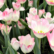 Pink Tip TUlips