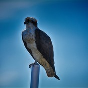 Osprey St.Petersburg, Florida, USA