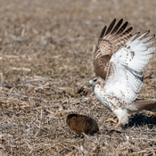 Red-tailed Hawk & Muskrat