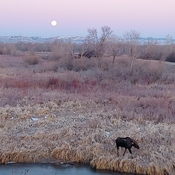 moon and moose