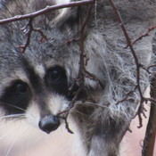Johns Baby raccoon.