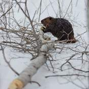 Beaver cutting some lunch