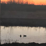 Ducks bathing under the sunrise
