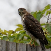 Hawk looking for lunch