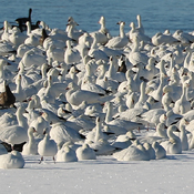 Snow Geese along the St. Lawrence River