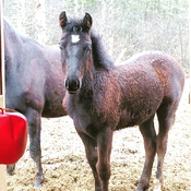 "little ""bo"" stud colt almost 6 months old getting big fast!"