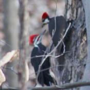 Pileated woodpecker pair ready to raise babies