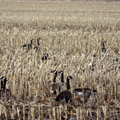 Geese feeding on the corn stalks in a farmer's field