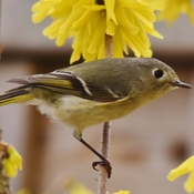 ruby-crowned kinglet in my yard