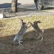Easter Bunnies Throwing Rabbit Punches