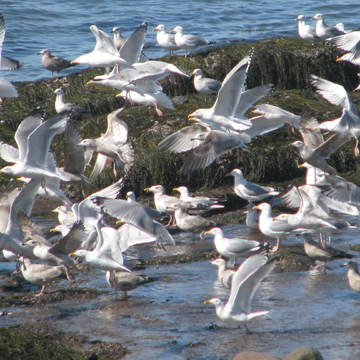 Flight of the Herring Gulls