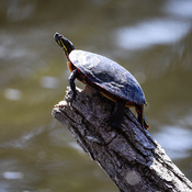 Little turtle sunning itself