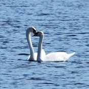 Spring and Love is in the air! Swans - Picton Bay