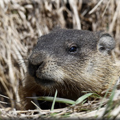 Ground Hog Peeking!
