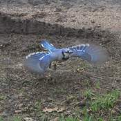 Blue Jay caught in action