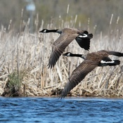 Canada Geese In Tandem