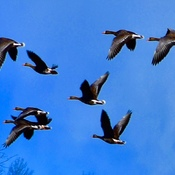 Migration of Greater White Fronted Geese.