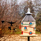 Purple Martins waiting to get into the house as the plugs come out.