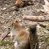 Squirrel and chipmunk