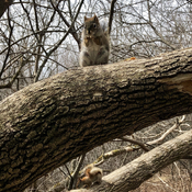 Squirrel double decker