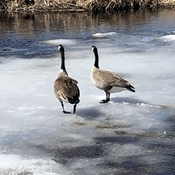 Couple of Canada geese