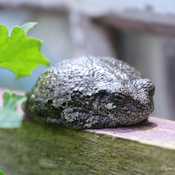 Toad on my Raised Bed