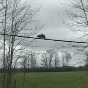 Raccoon on hydro lines