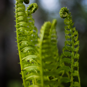 From Fiddleheads to Ferns