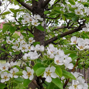 Pear tree in full bloom