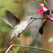 Young hummingbird