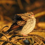 A Juvenile Chipping Sparrow