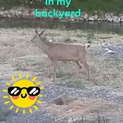 Deer by Creek in Merritt BC