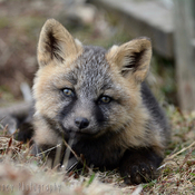 Cross Fox Kit