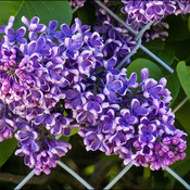 Fence lilacs, Elliot Lake.