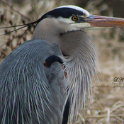 Great Heron Profile
