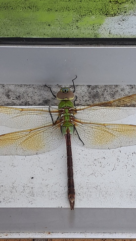 Pretty little dragon fly Barrie, ON